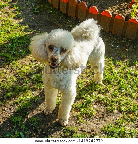 White dwarf poodle. Breed mainly decorative dogs, one of the most common breeds in the present #1418242772