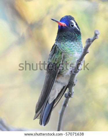White-eared hummingbird ,Miller Canyon,AZ,USA.
