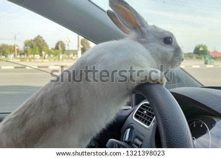 White Easter bunny rides to give gifts. Rabbit in the car at the driver's seat behind the steering wheel. Hare driver.