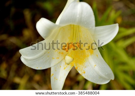 <b>Easter Lily</b> Backdrop