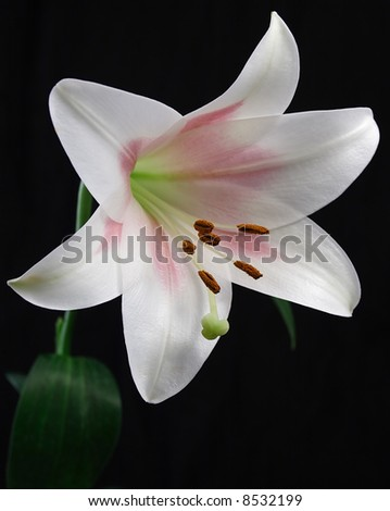 images of easter lilies. clip art easter lilies.