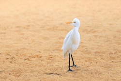 White egret bird on the beach