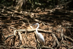 White egret birds is standing on tree's root in tropical rainforest environment. Animal and wildlife portrait photo.