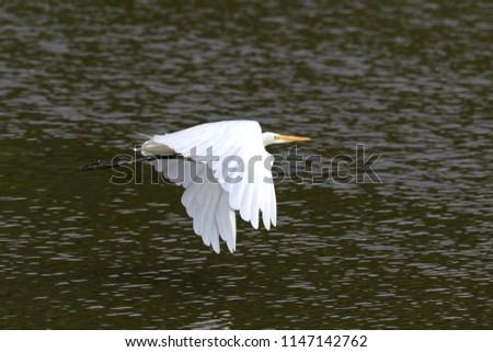 White egret flying past. #1147142762