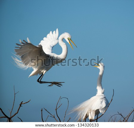 white egret in flight nest