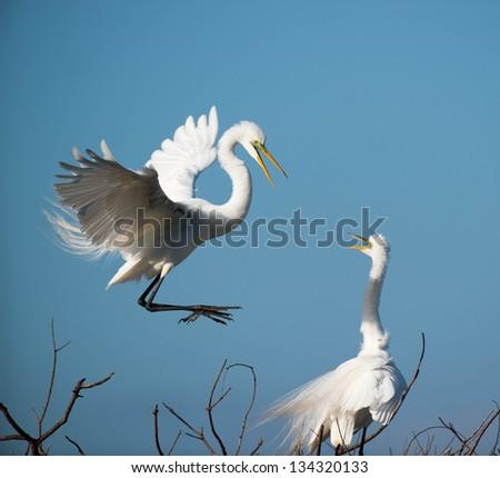 white egret in flight nest