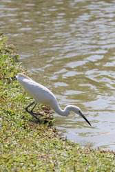 White egret or Pelicans bird Starting to foraging of small fish for food.