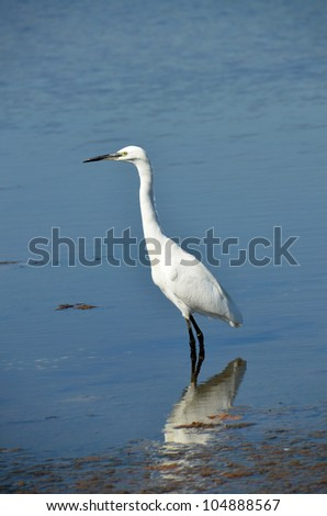 white egret rest on the placid lake water