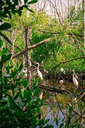 White Egrets in the Florida Everglades