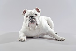 White english bulldog lying on the floor. Studio shot against grey.