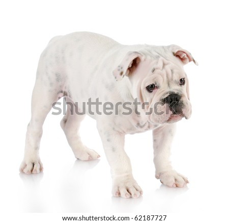 white english bulldog puppy standing with reflection on white background