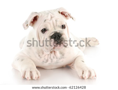 white english bulldog puppy with reflection on white background