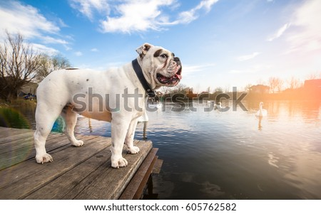 White English Bulldog standing on the dock