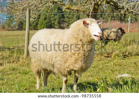 White ewe standing by fence with ram in background