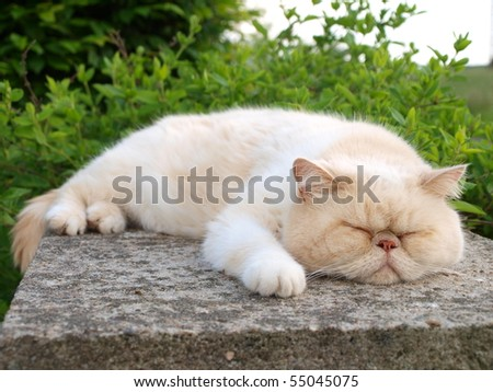 White exotic cat sleeping