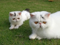 White exotic shorthair cats are laying in the garden. Cute cat. Pet and animal concept. Cat couple.