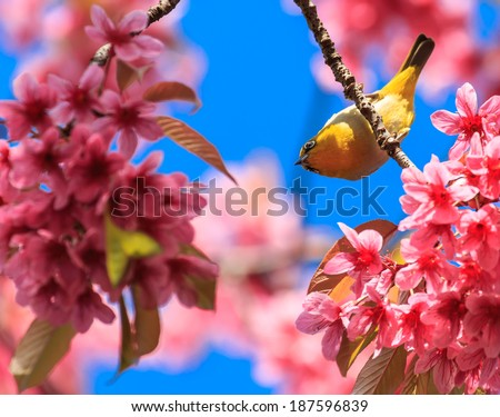 white-eye bird on twig of pink cherry blossom (sakura)