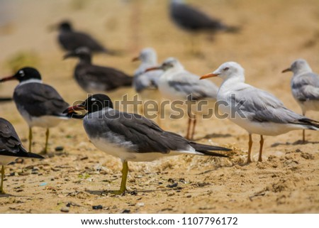 white eyed gulls and common gulls, redsea shore in Jeddah, Saudi arabia #1107796172
