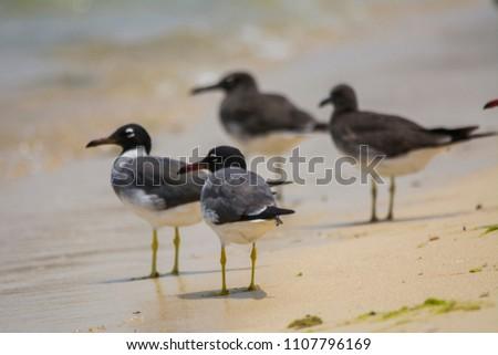 white eyed gulls and sooty gulls, redsea shore in Jeddah, Saudi arabia #1107796169