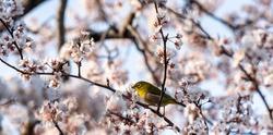White eyes bird is tweeting on cherry blossom.