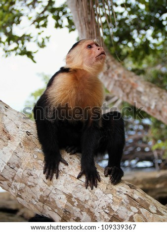 White faced Capuchin monkey on a coconut tree trunk, national park of Cahuita, Caribbean, Costa Rica