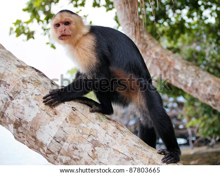 White-faced capuchin monkey on a coconut tree trunk, national park of Cahuita, Caribbean, Costa Rica