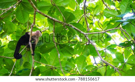White faced capuchin monkey sitting in a tree. #788150617