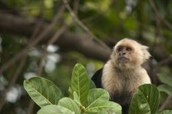 White-faced Capuchin Monkey sitting in the leaves, Ometepe, Nicaragua