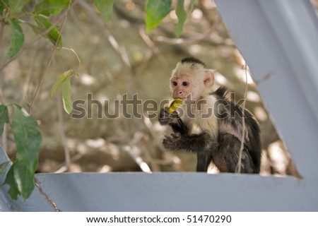 White faced Capuchin monkey with a banana peel in his mouth.  (Cebus capucinus) in Palo Verde National Park, Guanacaste Costa Rica .