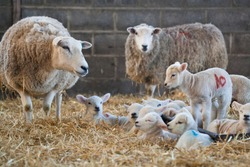 White faced new born lambs with ewes on a farm at lambing time in spring, North Yorkshire, England, UK