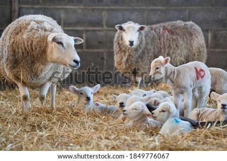 Photo of  White faced new born lambs with ewes on a farm at lambing time in spring, North Yorkshire, England, UK