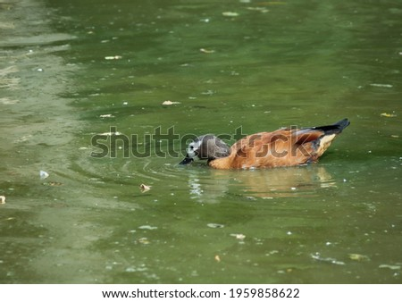 White faced tree duck swimming around a lake with its beak in the water. With reflection. Stockfoto ©