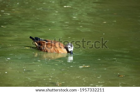 White faced tree duck swimming in a lake with its beak in the water. Stockfoto ©