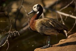 White-faced Whistling Duck. (Dendrocygna viduata).