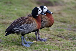 White-faced Whistling-duck - Dendrocygna viduata 