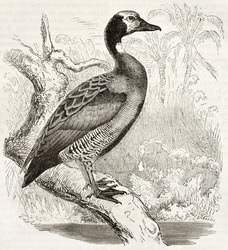 White-faced Whistling Duck old illustration (Dendrocygna viduata). Created by Kretschmer and Wendt, published on Merveilles de la Nature, Bailliere et fils, Paris, ca. 1878