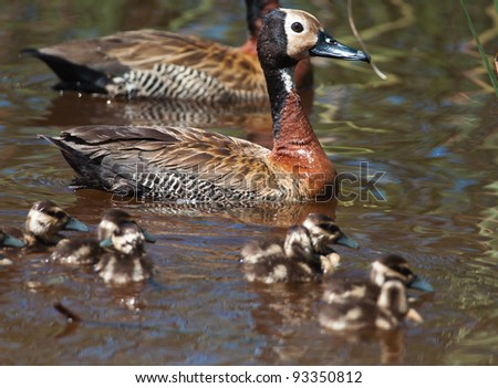 White-faced Whistling Duck swimming a dam with out of focus chicks in the foreground