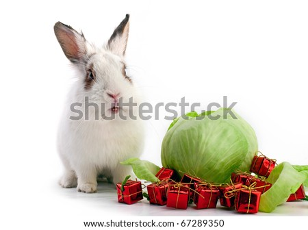 White fancy rabbit with cabbage and gift boxes on the white background. New year concept.
