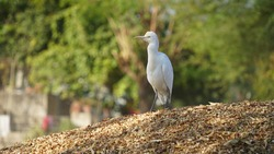 White feather aquatic avian Great Egret or Heron shot isolated on fodder heap. Innocent bird seeking for enemy and insects.