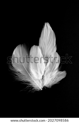 white feather portrait. background feathers. beautiful feathers. background low kay. dark background feathers Stok fotoğraf ©