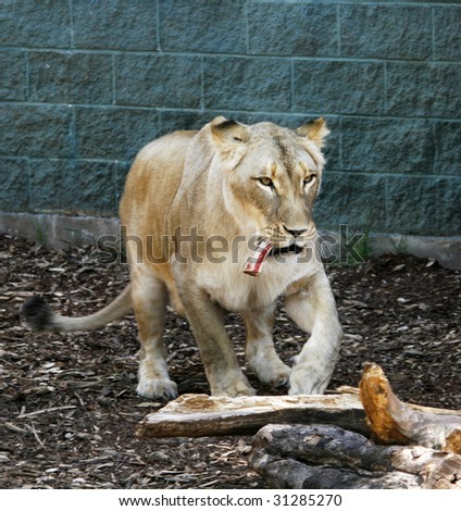 white female lion walking with bone in mouth - stock photo