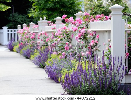 White fence and flower bed with pink roses, Salvia, Sage, Catmint and Lady's Mantel. Colorful, elegant garden bordering front yard and sidewalk