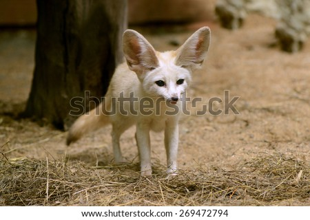 Stock Photo White Fennec fox or Desert fox with big ear