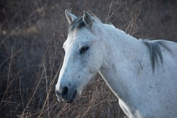 White feral horse with infected eye