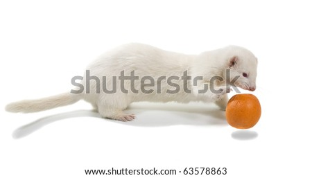White ferrets (albino) plays with an orange on a white background