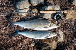 White fish fly fishing on swedish sea coast