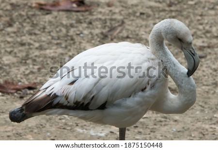 Photo of  White flamingo close the shoot