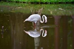 White flamingo on natural habitat. Beautiful reflections on the lake