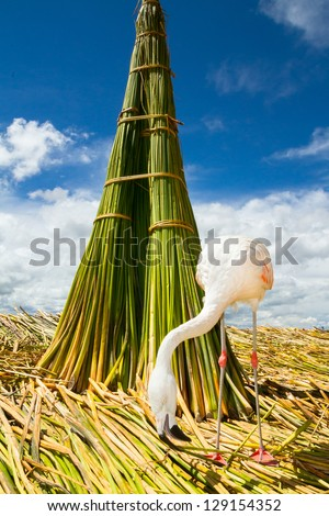 White Flamingo on the floating islands of Uros Peru