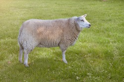 White Flemish sheep in the meadow